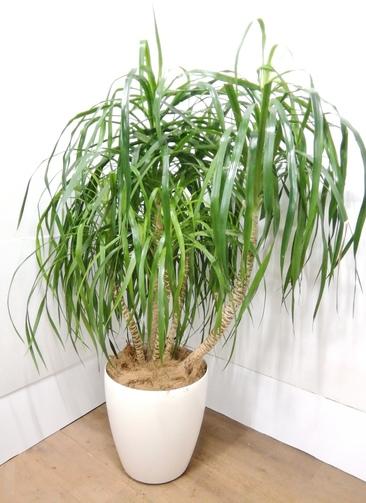 観葉植物 【143cm】 ドラセナ カンボジアーナ 10号 #23852 ※1都3県配送限定商品