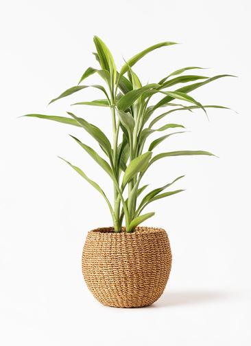 観葉植物 ドラセナ サンデリアーナ ゴールド 4号 アバカバスケット タン 付き