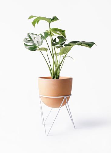 観葉植物 モンステラ 6号 ボサ造り インティ ラウンド アイアンポットスタンド ホワイト付き