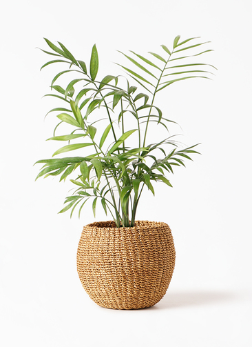 観葉植物 テーブルヤシ 4号 アバカバスケット タン 付き