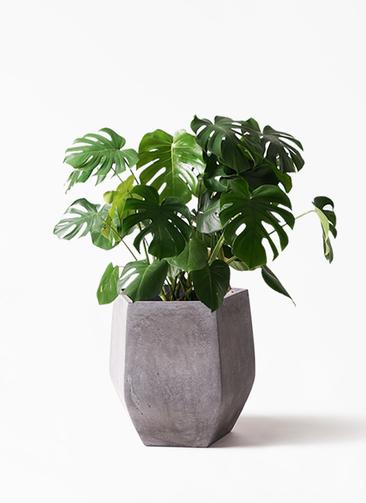 観葉植物 モンステラ 8号 ボサ造り ファイバークレイ Gray 付き