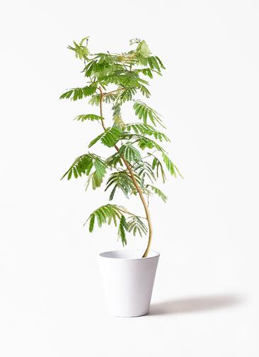 観葉植物 エバーフレッシュ 10号 フォリオソリッド 白 付き