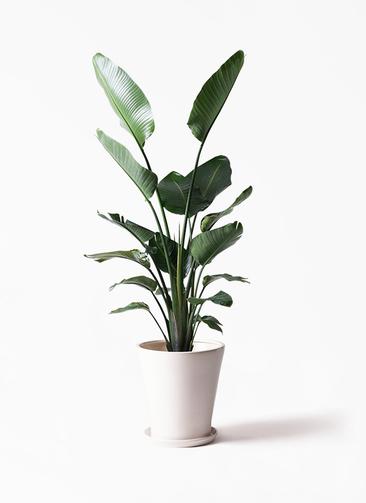 観葉植物 オーガスタ 10号 サブリナ 白 付き