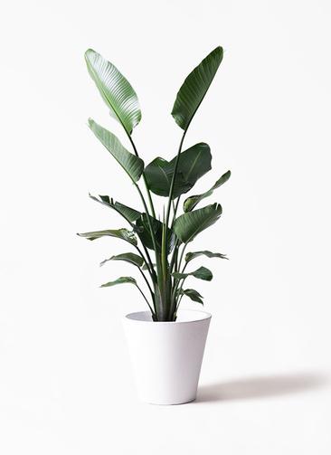 観葉植物 オーガスタ 10号 フォリオソリッド 白 付き