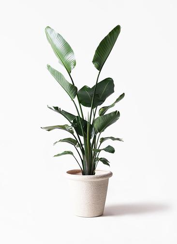 観葉植物 オーガスタ 10号 ビアスリムス 白 付き