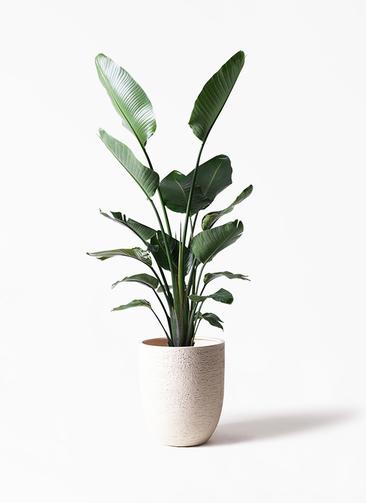 観葉植物 オーガスタ 10号 ビアスアルトエッグ 白 付き