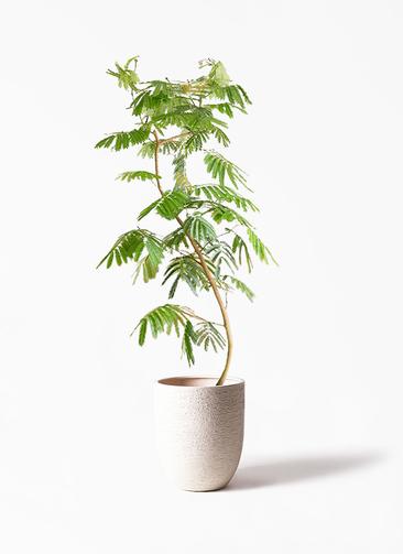 観葉植物 エバーフレッシュ 10号 ビアスアルトエッグ 白 付き