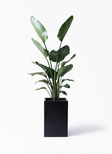 観葉植物 オーガスタ 10号 セドナロング 墨 付き
