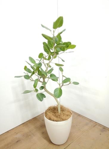 観葉植物 フィカス ベンガレンシス 【113cm】 フィカス ベンガレンシス 7号 #23712 ラスターポット付き