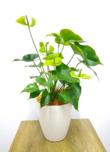 観葉植物 アンスリウム 【72cm】 アンスリウム 6号 #23826 ラスターポット付き