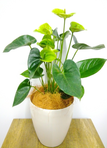 観葉植物 アンスリウム 【65cm】 アンスリウム 6号 #23827 ラスターポット付き