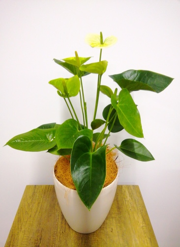 観葉植物 アンスリウム 【69cm】 アンスリウム 6号 #23829 ラスターポット付き