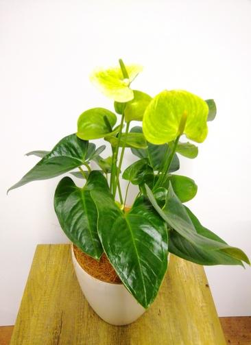 観葉植物 アンスリウム 【67cm】 アンスリウム 6号 #23830 ラスターポット付き