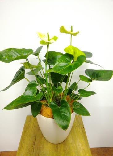 観葉植物 アンスリウム 【85cm】 アンスリウム 8号 #23831 ラスターポット付き