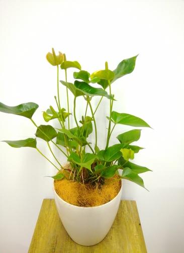 観葉植物 アンスリウム 【92cm】 アンスリウム 8号 #23832 ラスターポット付き
