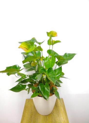 観葉植物 アンスリウム 【95cm】 アンスリウム 8号 #23833 ※1都3県配送限定商品 ラスターポット付き