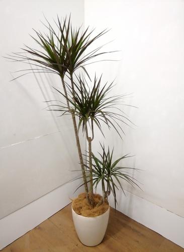 観葉植物 ドラセナ コンシンネ 【165cm】 ドラセナ コンシンネ 8号 #23838 ラスターポット付き