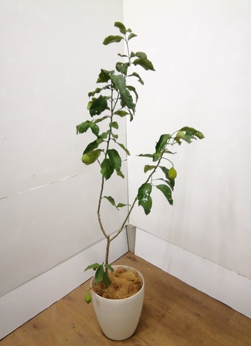 レモンの木 果樹 【160cm】レモン #23849 ラスターポット付き