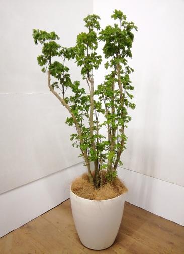 観葉植物 ポリシャス 【118cm】 ポリシャス 8号 #23850 ラスターポット付き