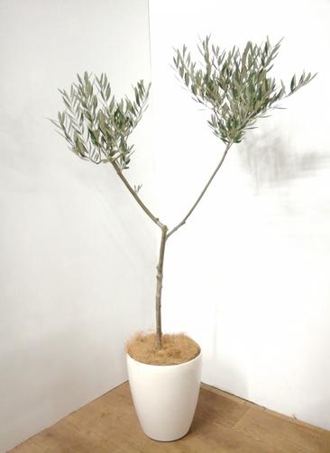 観葉植物 【130cm】 オリーブの木 7号 #23945 ※1都3県配送限定商品
