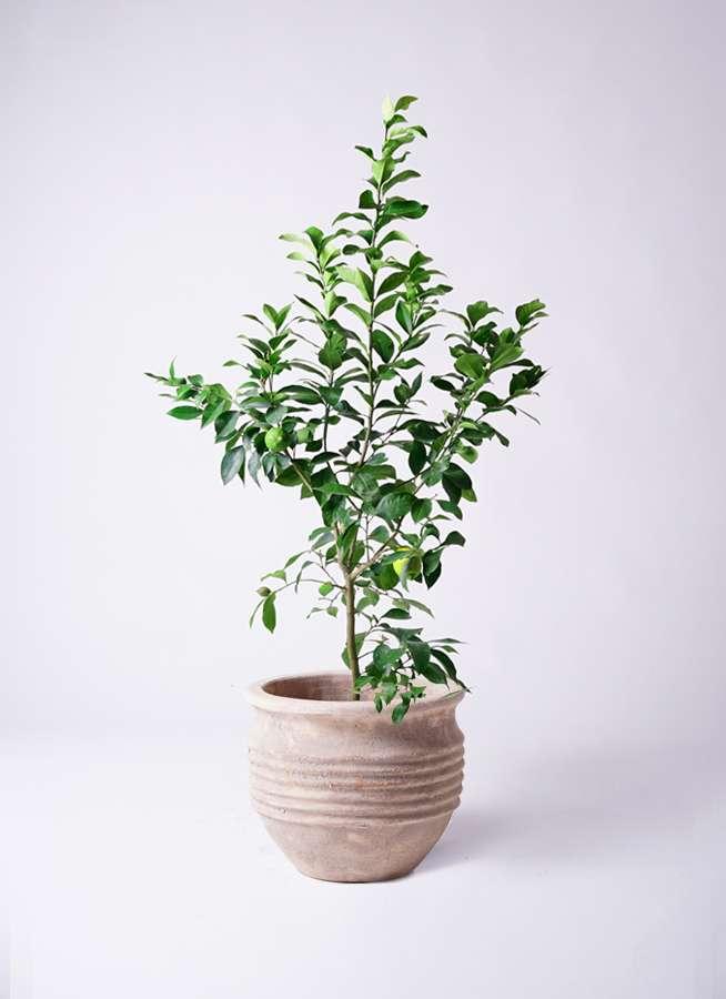 レモンの木 8号 リスボン テラアストラ リゲル 赤茶色 付き
