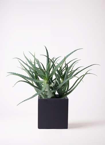 観葉植物 キダチアロエ 8号 8号ベータ キューブプランター 黒 付き