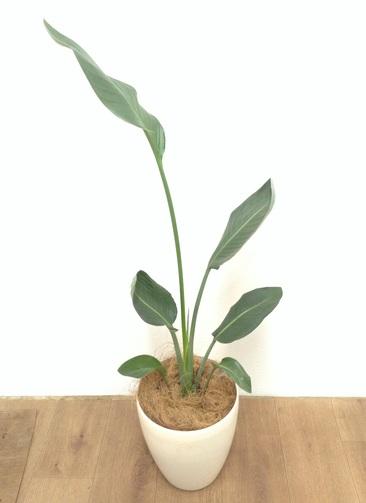 観葉植物 【98cm】 ストレリチア レギネ 6号 #24133