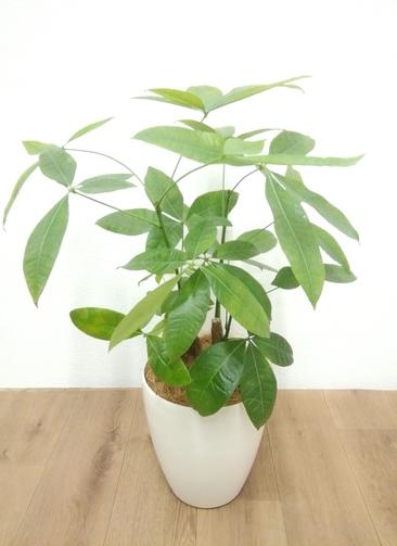 観葉植物 【70cm】 パキラ 6号 #24138