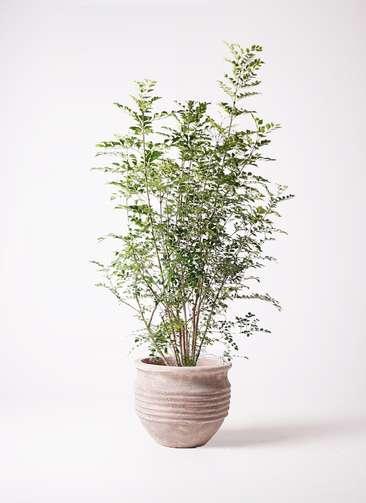 観葉植物 シマトネリコ 8号 テラアストラ リゲル 赤茶色 付き