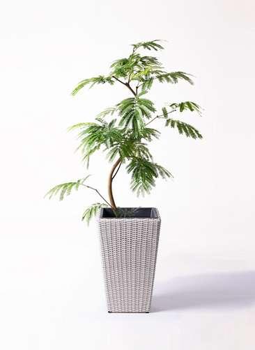 観葉植物 エバーフレッシュ 8号 曲り ウィッカーポット スクエアロング OT 白 付き