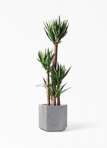 観葉植物 ユッカ 10号 ノーマル コーテス ヘックス 灰 付き