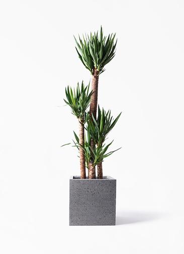 観葉植物 ユッカ 10号 ノーマル キューブ ラテルストーン 付き
