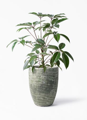 観葉植物 ツピダンサス 8号 ボサ造り アビスソニア トール 緑 付き