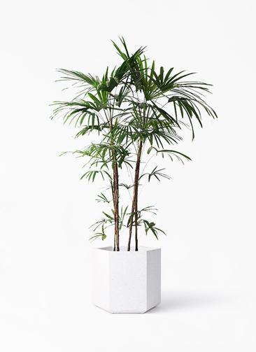 観葉植物 シュロチク(棕櫚竹) 10号 コーテス ヘックス ホワイトテラゾ 付き