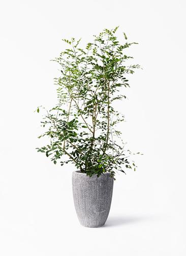 観葉植物 シルクジャスミン(げっきつ) 8号 アビスソニア トール 灰 付き