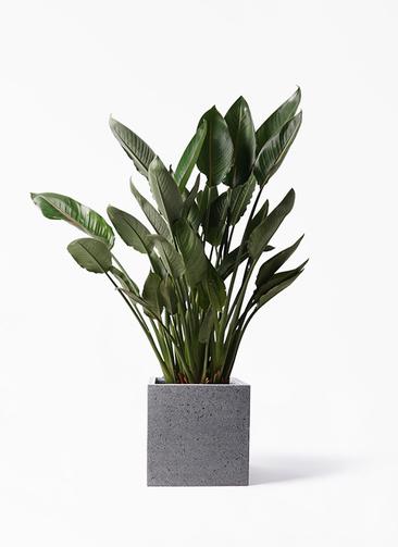 観葉植物 ストレリチア レギネ 10号 キューブ ラテルストーン 付き