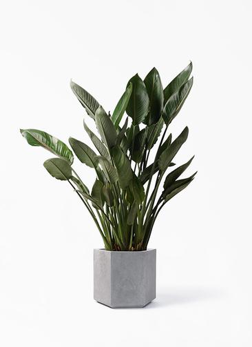 観葉植物 ストレリチア レギネ 10号 コーテス ヘックス 灰 付き