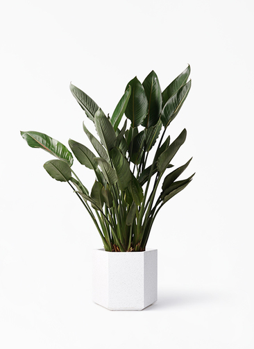 観葉植物 ストレリチア レギネ 10号 コーテス ヘックス ホワイトテラゾ 付き