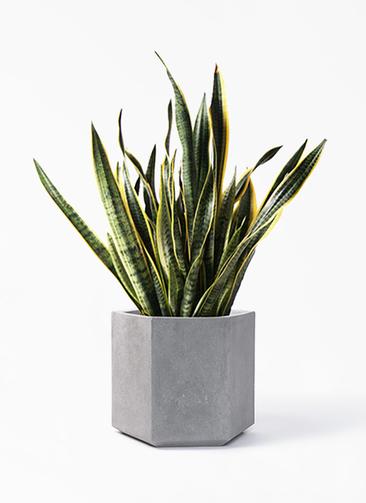観葉植物 サンスベリア 10号 トラノオ コーテス ヘックス 灰 付き