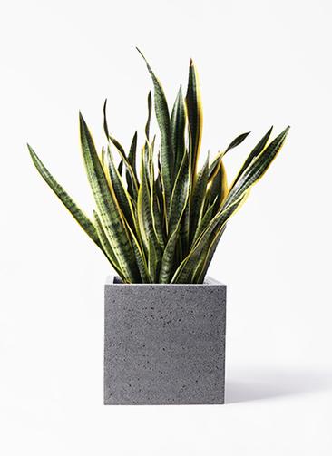 観葉植物 サンスベリア 10号 トラノオ キューブ ラテルストーン 付き