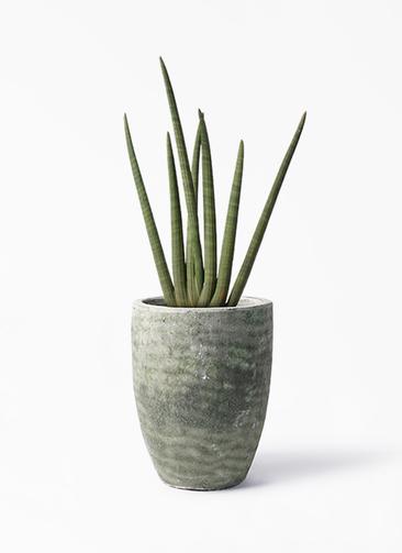 観葉植物 サンスベリア スタッキー 8号 アビスソニア トール 緑 付き