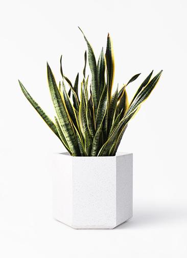 観葉植物 サンスベリア 10号 トラノオ コーテス ヘックス ホワイトテラゾ 付き