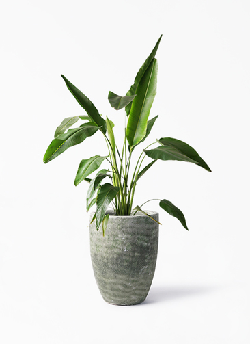 観葉植物 旅人の木 8号 アビスソニア トール 緑 付き