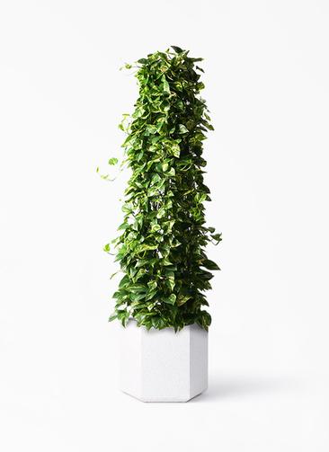 観葉植物 ポトス 10号 コーテス ヘックス ホワイトテラゾ 付き