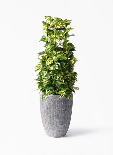観葉植物 ポトス 8号 プラスチック アビスソニア トール 灰 付き