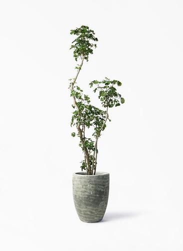 観葉植物 ポリシャス 8号 アビスソニア トール 緑 付き