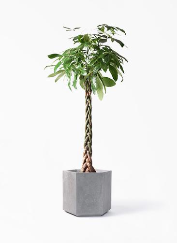 観葉植物 パキラ 10号 ねじり コーテス ヘックス 灰 付き