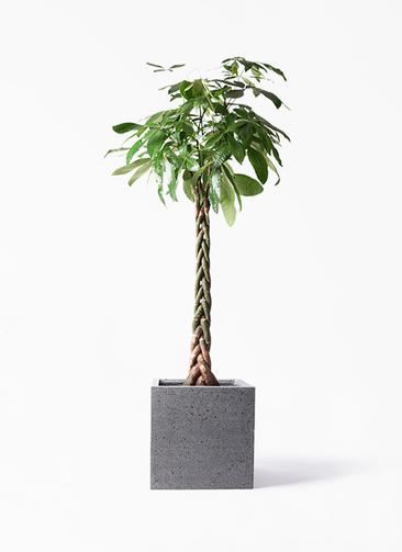 観葉植物 パキラ 10号 ねじり キューブ ラテルストーン 付き