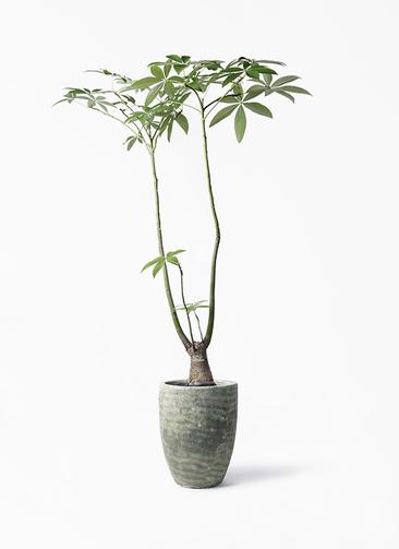 観葉植物 パキラ 8号 パラソル アビスソニア トール 緑 付き