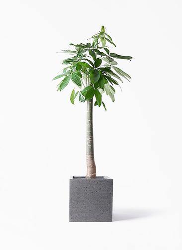 観葉植物 パキラ 10号 朴 キューブ ラテルストーン 付き